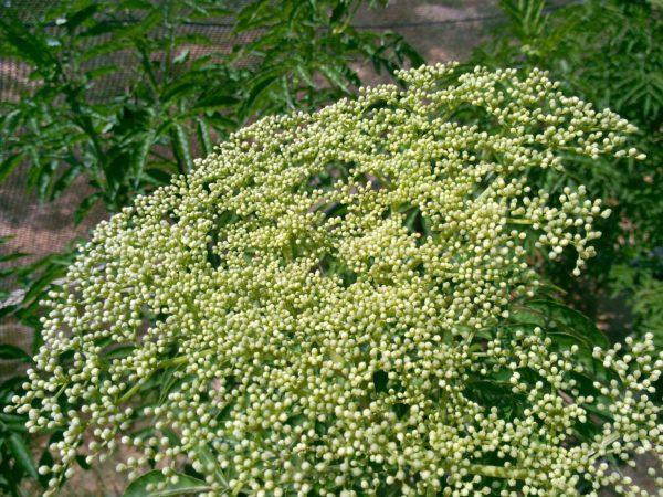 פרח סמבוק שחור בחוות שירת המדבר