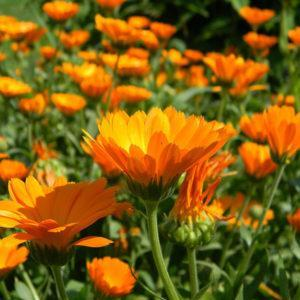 פרחי קלנדולה