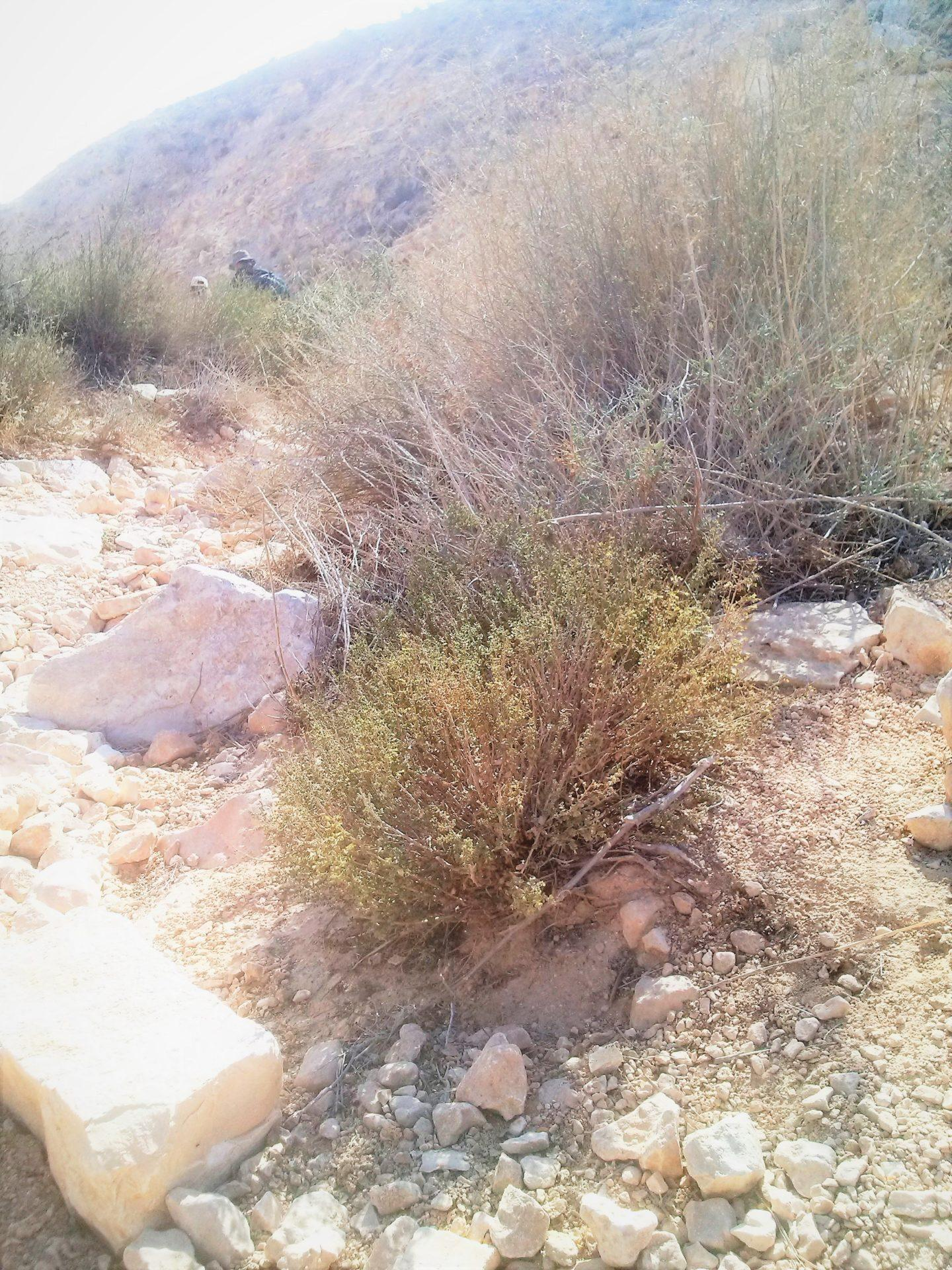 אזובית במדבר בערוץ נחל