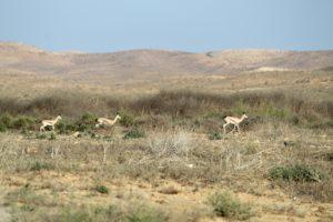 צבי הנגב סמוך לחוות שירת המדבר