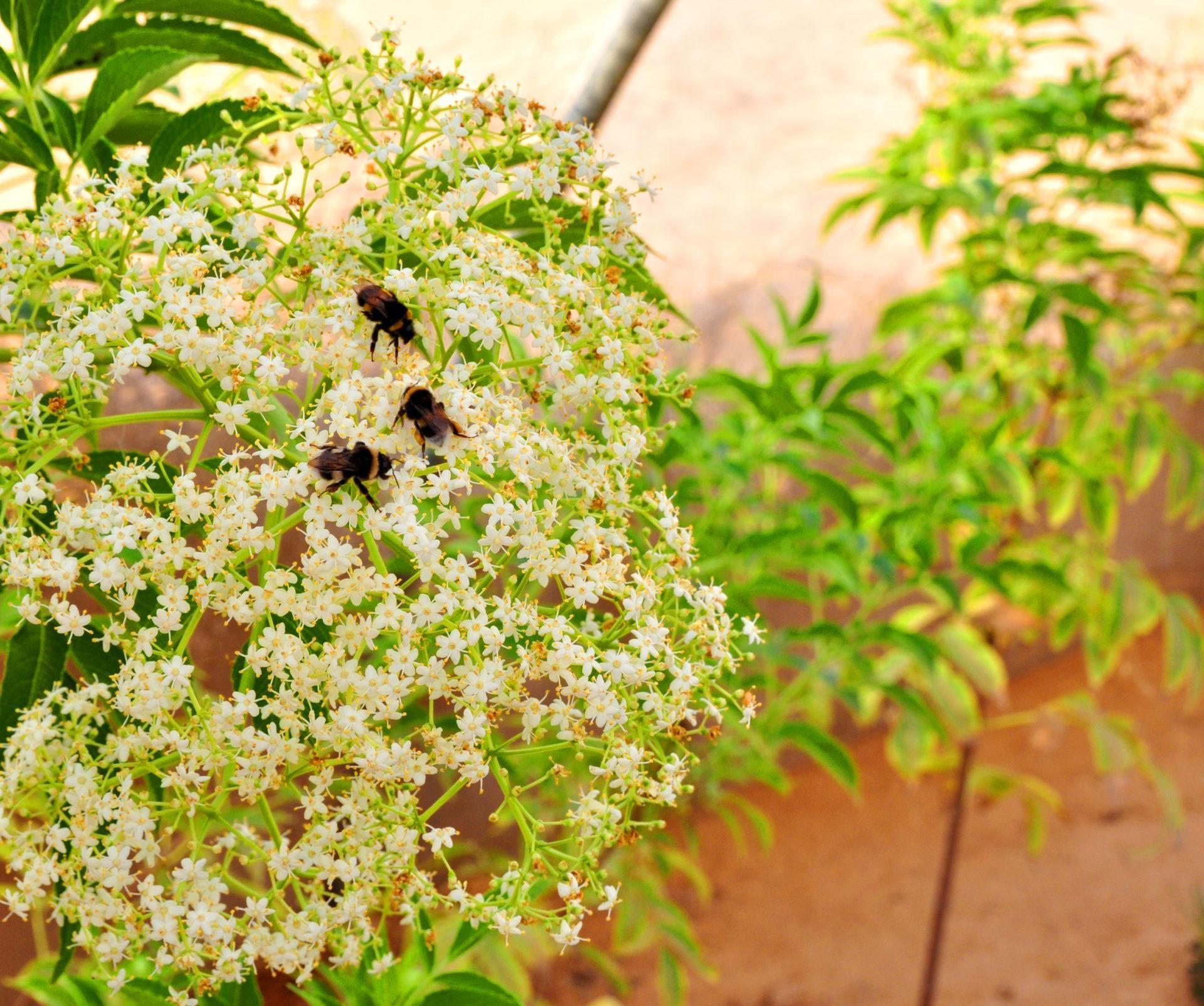 סמבוק שחור פרחים