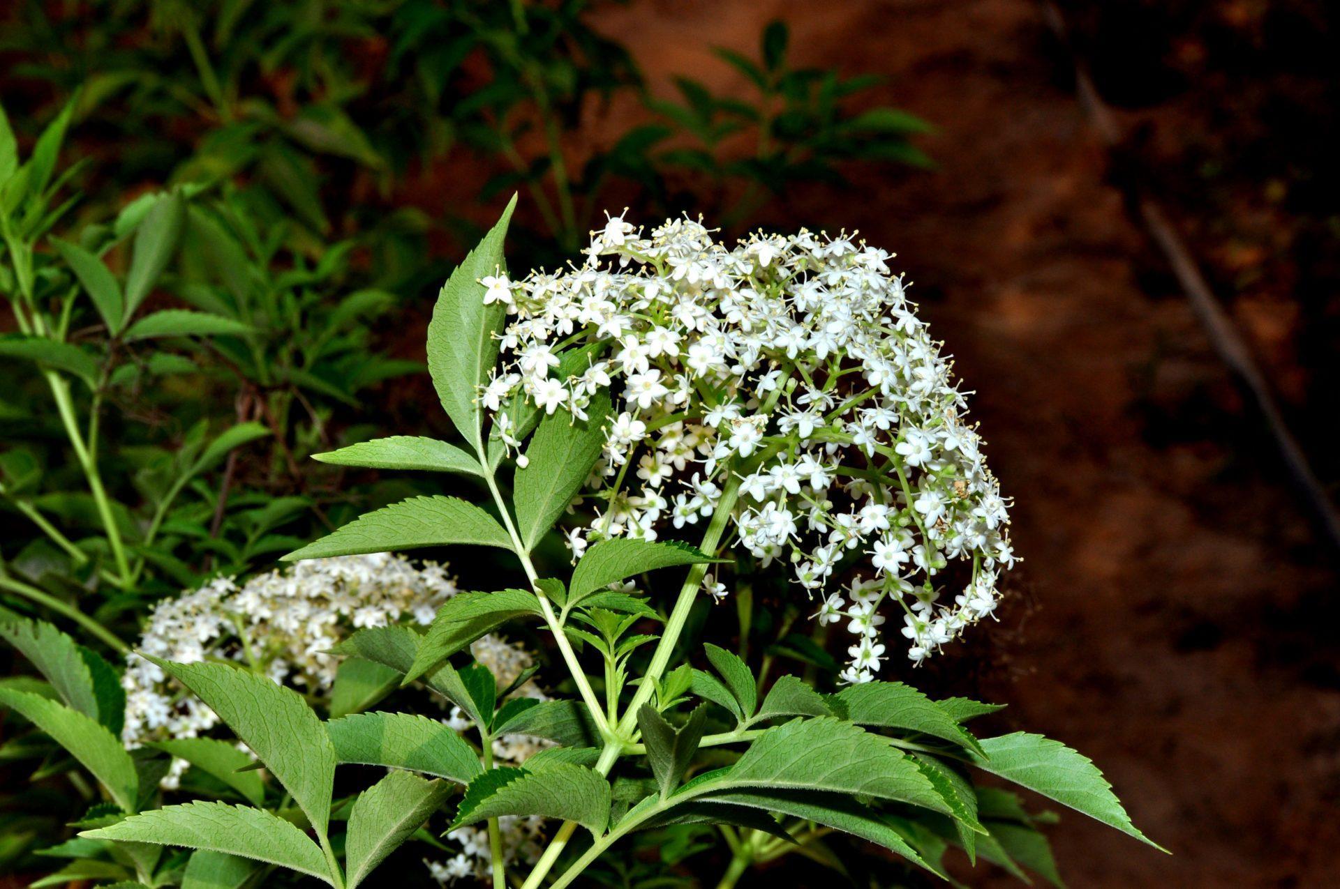 פרחי הסמבוק השחור