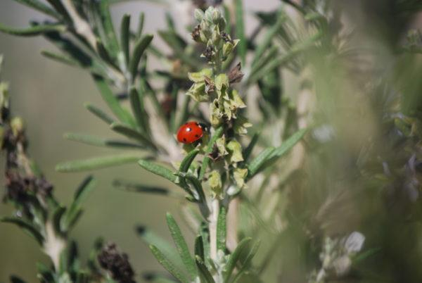 חיפושית משה רבנו על רוזמרין