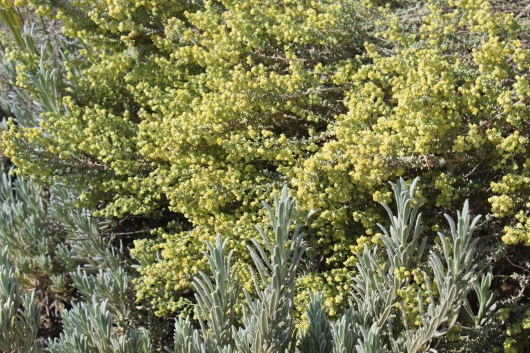 ארטמיסיה ולבנדר צמחי מרפא