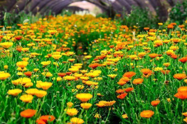 שדה קלנדולה בשירת המדבר