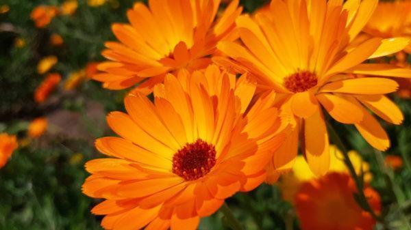 פרחי קלנדולה עשירים בקרטונואידים