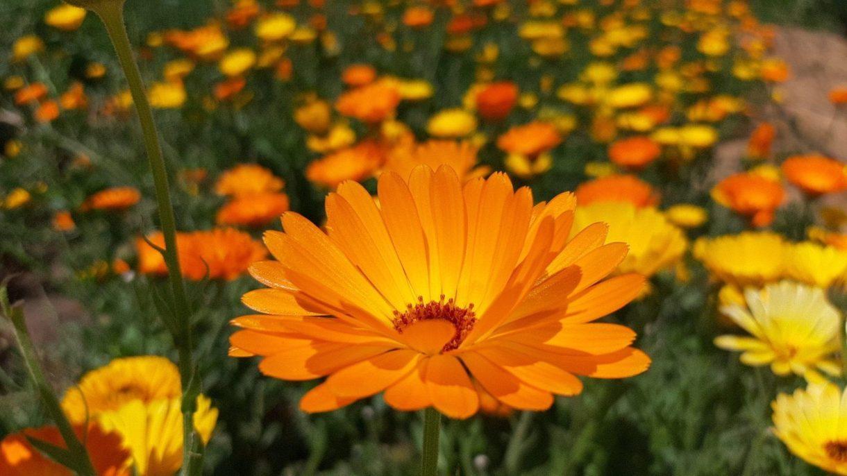 פרחי קלנדולה בשדה הקלנדולה בשירת המדבר