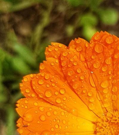 פרח קלנדולה עם אגלי טל