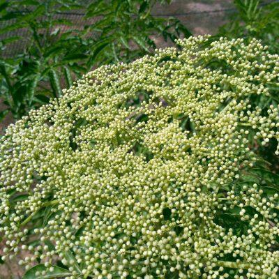 פרח סמבוק